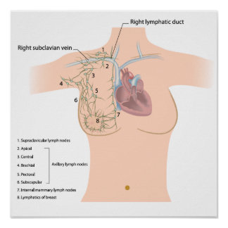 Lymphatic drainage of the breast poster