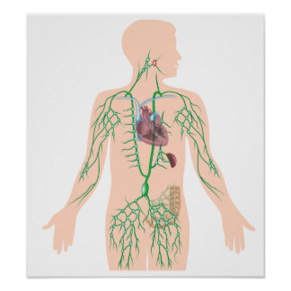 Lymphatic drainage poster
