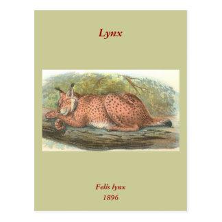 Lynx, Felis lynx Postcard
