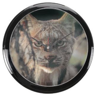 Lynx, Lynx canadensis, Denali National Park, Aqua Clock