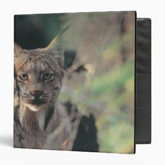 Lynx, Lynx canadensis, Denali National Park, Binder