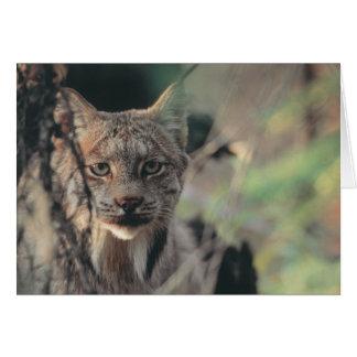 Lynx, Lynx canadensis, Denali National Park, Card