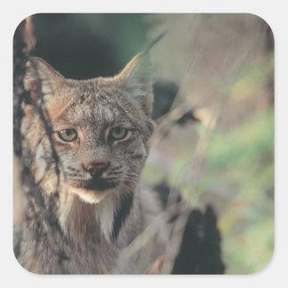 Lynx, Lynx canadensis, Denali National Park, Sticker