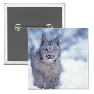 lynx, Lynx lynx, in the snow in the foothills of Pinback Button