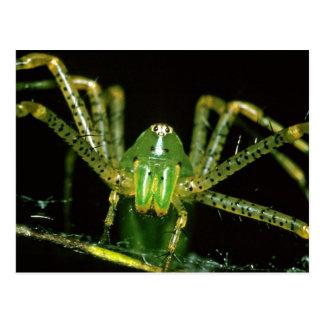 Lynx Spider Postcard