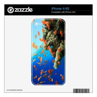 Lyretail anthias on coral reef skin for iPhone 4S