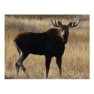 M0007 Young Bull Moose postcard