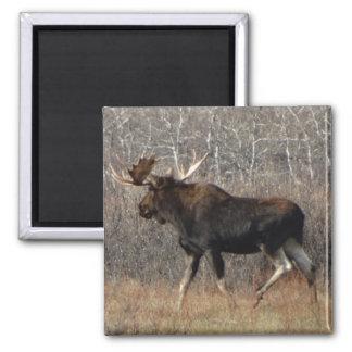 M0008 Bull Moose 2 Inch Square Magnet