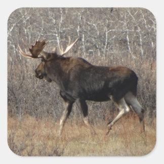 M0008 Bull Moose Square Sticker