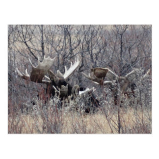 M0009 Bull Moose Laying Postcard