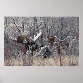 M0009 Bull Moose Laying Poster