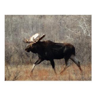 M0010 Bull Moose Postcard