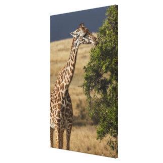 Maasai Giraffe (Giraffe Tippelskirchi) as seen 2 Canvas Print