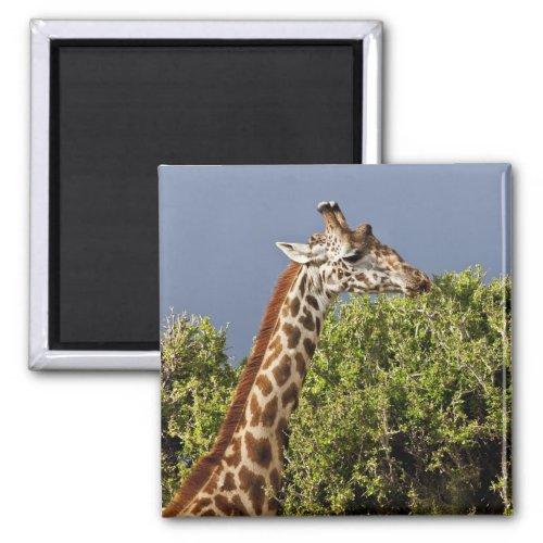 Maasai Giraffe Giraffe Tippelskirchi as seen 3 Magnet