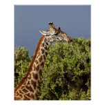 Maasai Giraffe (Giraffe Tippelskirchi) as seen 3 Posters