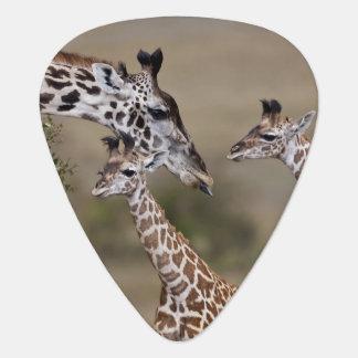 Maasai Giraffe (Giraffe Tippelskirchi) as seen Guitar Pick