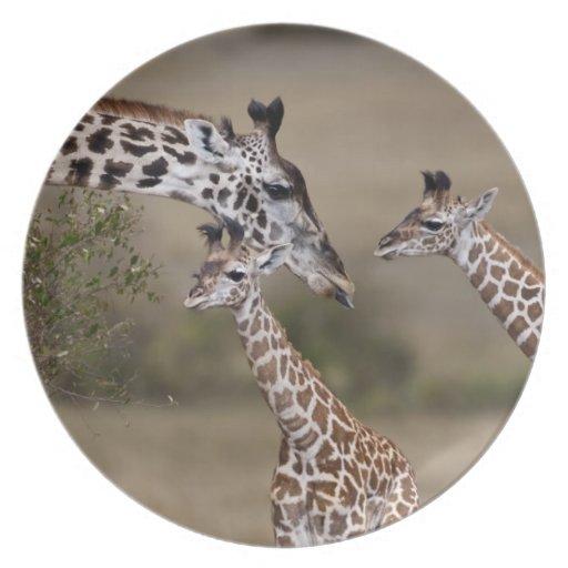 Maasai Giraffe (Giraffe Tippelskirchi) as seen Plates