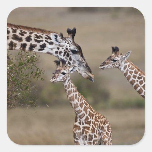 Maasai Giraffe Giraffe Tippelskirchi as seen Square Sticker