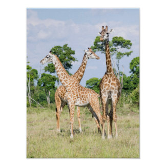 Maasai Giraffe Poster