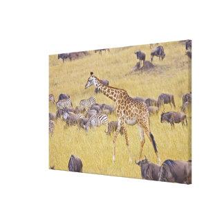 Maasai Giraffes roaming across the Maasai Mara 2 Canvas Print