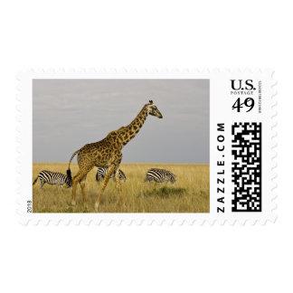 Maasai Giraffes roaming across the Maasai Mara 3 Postage Stamps