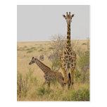 Maasai Giraffes roaming across the Maasai Mara Postcard