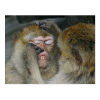 Macaca sylvanus post card