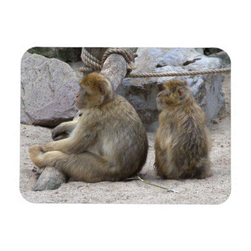 Macaque de Barbary Imanes