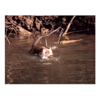 Macaque in Borneo Postcard
