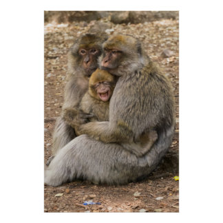 Macaque Monkeys and Baby Poster