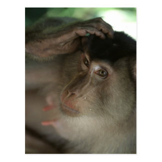 Macaque Postcard