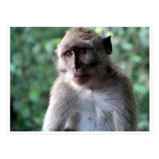macaque sabio postales