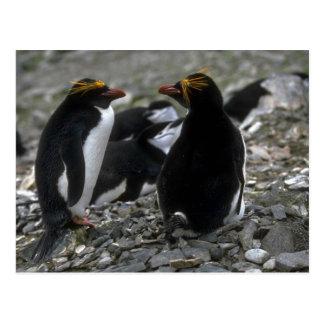 Macaroni Penguin - Pair At Nest Postcards