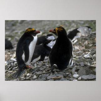 Macaroni Penguin - Pair At Nest Poster