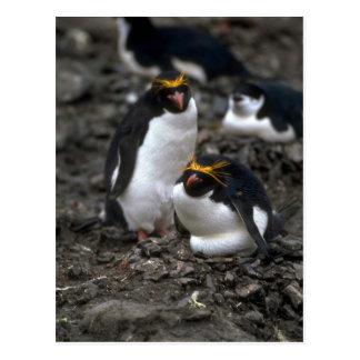 Macaroni Penguins - Pair At Nest Postcards