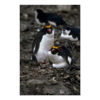 Macaroni Penguins - Pair At Nest Poster