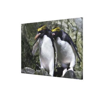 Macaroni Penguins, South Georgia Canvas Print