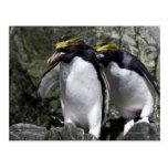Macaroni Penguins, South Georgia Postcard