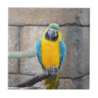 macaw azul del oro en loro de la vista delantera d azulejos ceramicos