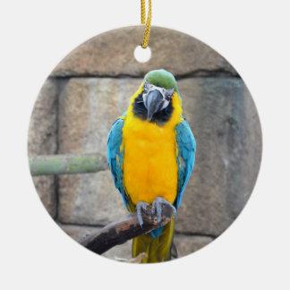 macaw azul del oro en loro de la vista delantera d ornamentos para reyes magos