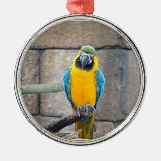 macaw azul del oro en loro de la vista delantera d adorno
