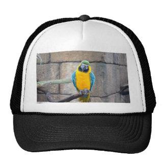 macaw azul del oro en loro de la vista delantera d gorros