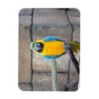 macaw azul del oro en loro de la vista delantera d imanes de vinilo