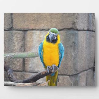 macaw azul del oro en loro de la vista delantera d placa de plastico