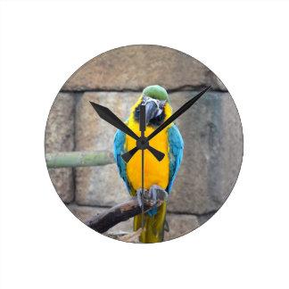 macaw azul del oro en loro de la vista delantera d reloj