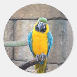 macaw azul del oro en loro de la vista delantera etiqueta redonda