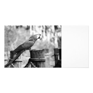 macaw bird bw animal image photo greeting card