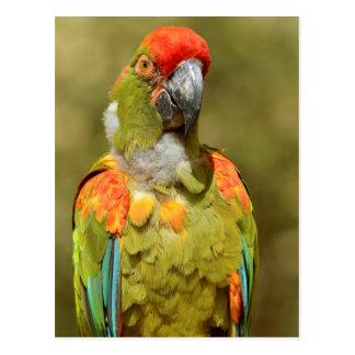 Macaw de los militares del primer postales