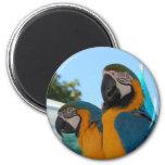 Macaw del azul y del oro imán para frigorifico