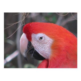 Macaw del escarlata - ascendente cercano tarjetas postales